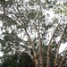 Garden Inventory: Eucalyptus - 07