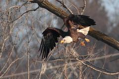 2012-12-30 Bald Eagle in Flight