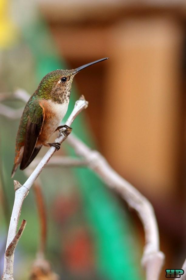Allen's Hummingbird 010213-2