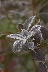 Frost on Blueberry Leaves 4