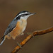 Red-Breasted Nuthatch by asparks306