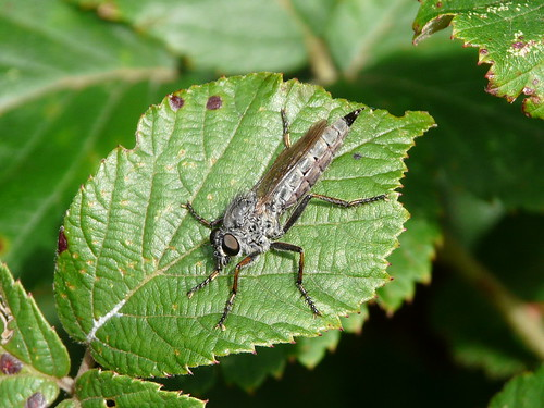 Stiletto Fly (Thereva nobilitata) by Peter Orchard