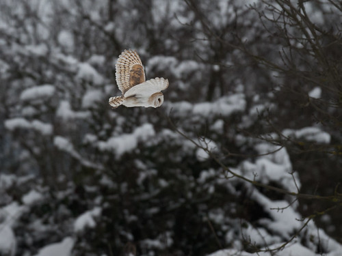 Barn Owl-winter hunting