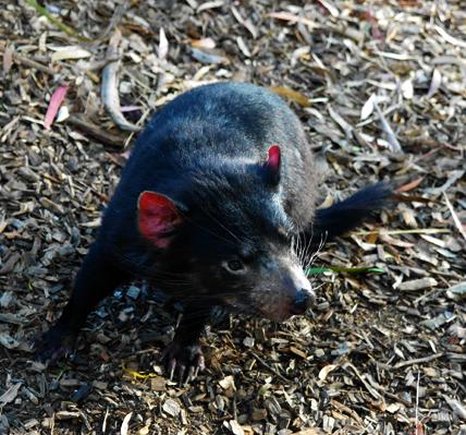 tasmanian devil 0