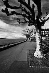 Trees  in Vevey