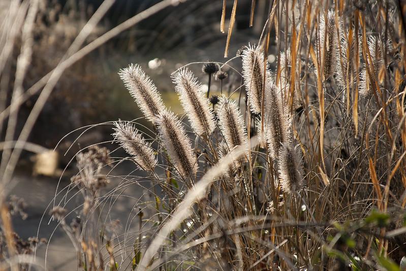 frosty pennisetum