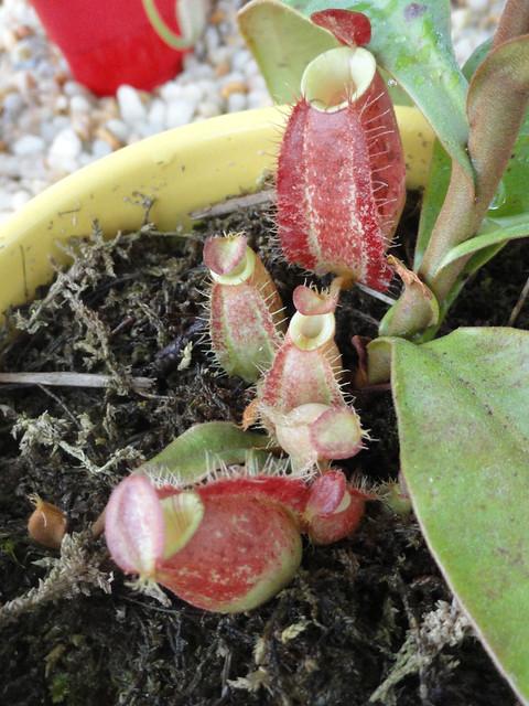 N. ampullaria basal