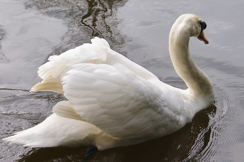 Swan on The River Medway by john47kent