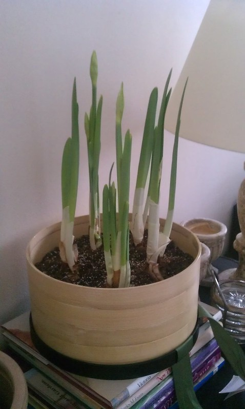 paper whites growing in bamboo container