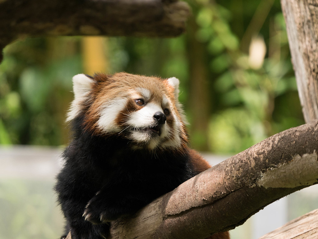 富山市ファミリーパークのレッサーパンダ