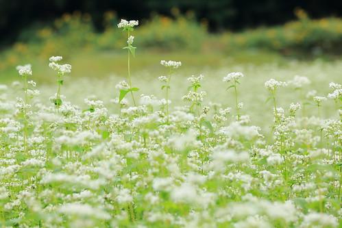 buckwheat flowers.