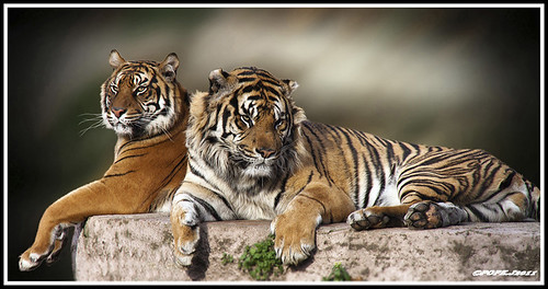 Mr. and Mrs. Tiger