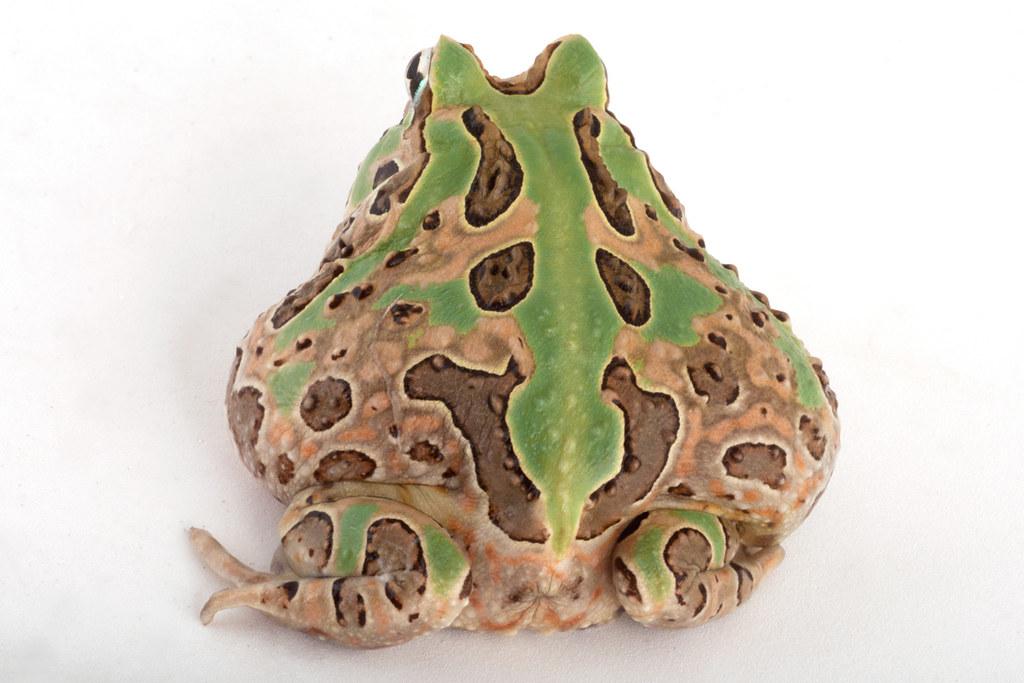 <i>Ceratophrys stolzmanni</i> Sapo bocón del Pacífico