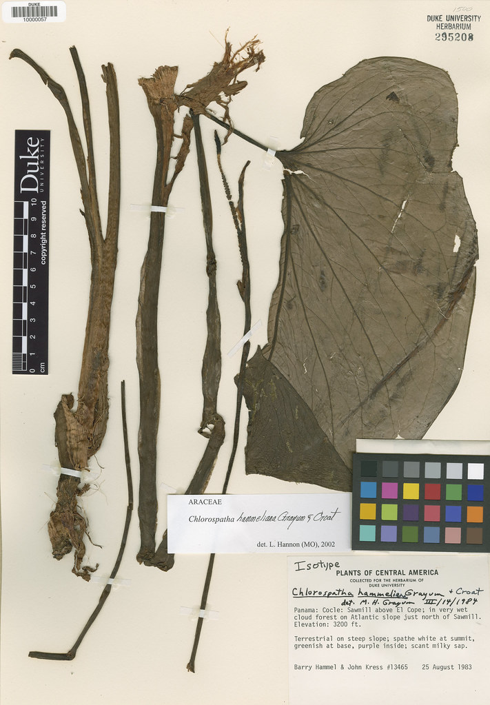 Araceae_Chlorospatha hammeliana