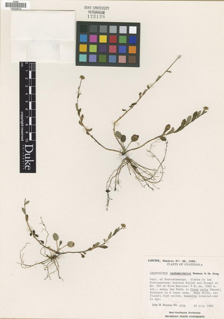 Asteraceae_Lagenophora cuchumatanica