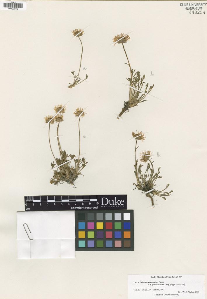 Asteraceae_Erigeron pinnatisectus