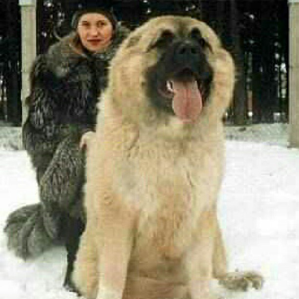 The biggest dog in the world, Caucasian Shepard Mountain Dog | Flickr