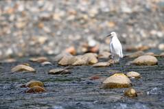 Snowy Egret (Egretta thula) - Eyes on the Flies