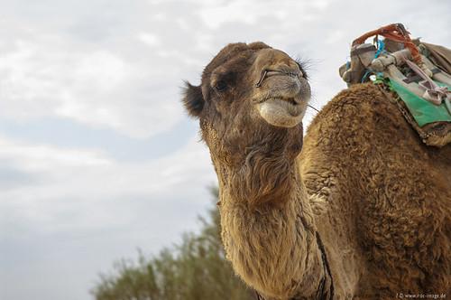 Kamel, Tunesien