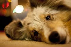 puppy(0.0), australian shepherd(0.0), nose(1.0), animal(1.0), dog(1.0), skin(1.0), pet(1.0), mammal(1.0), pembroke welsh corgi(1.0), close-up(1.0), whiskers(1.0), welsh corgi(1.0), eye(1.0),