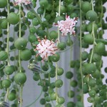 String of pearls blooming