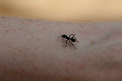 Flat-headed Ant (Cephalotes atratus) - Quistococha - Iquitos, Loreto, Peru