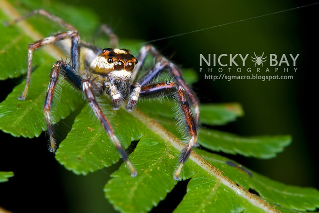 Jumping Spider (Salticidae) - DSC_8026