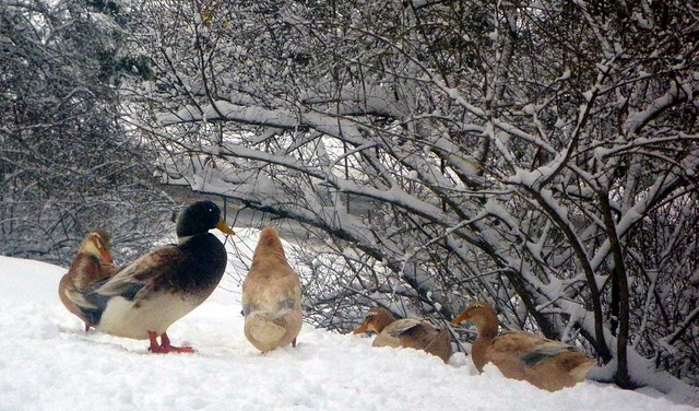 Snowy Saxony Ducks