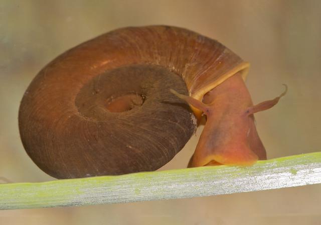 ramshorn snail 8 edited