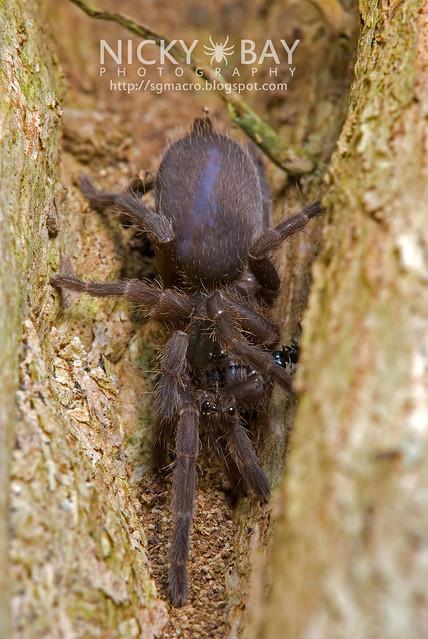 Tarantula (Theraphosidae) - DSC_8853