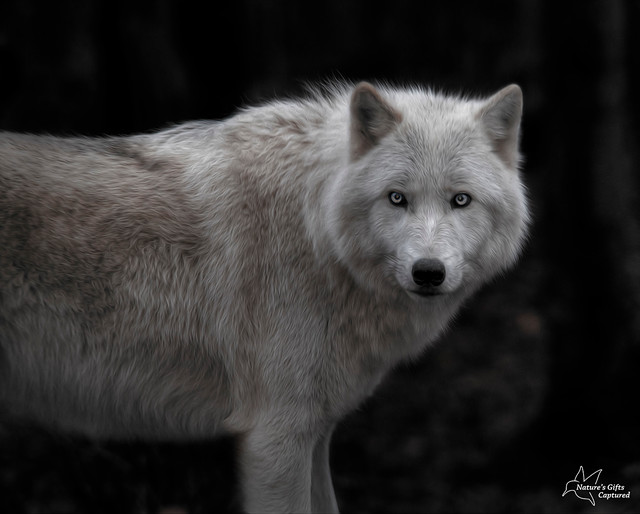 B&W Wolf Portrait