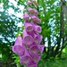 Common Foxglove Digitalis purpurea ©berniedup