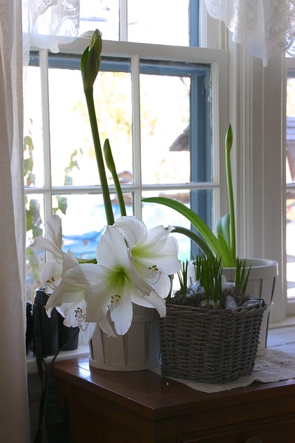 Amaryllis and Crocus