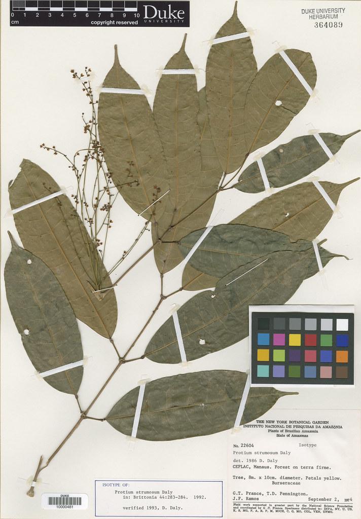 Burseraceae_Protium strumosum