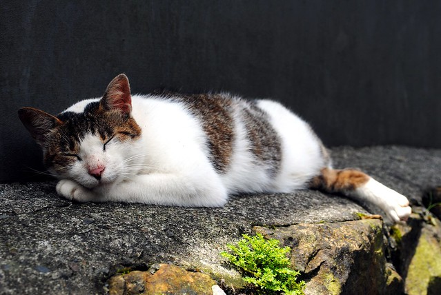 Sleeping cat
