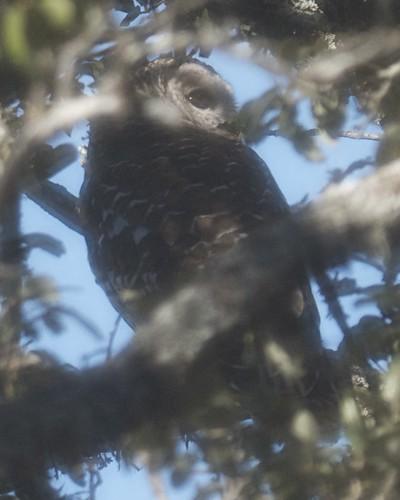 Barred Owl - 3