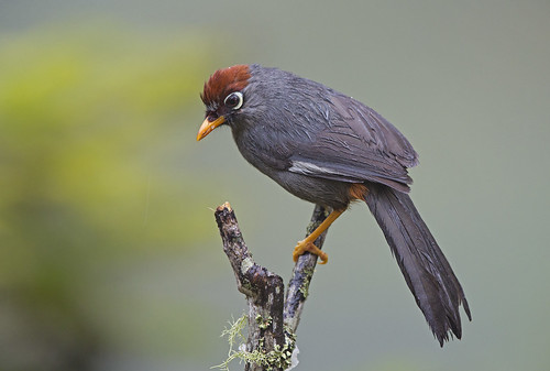 Chestnut Capped Laughingthrush_9172