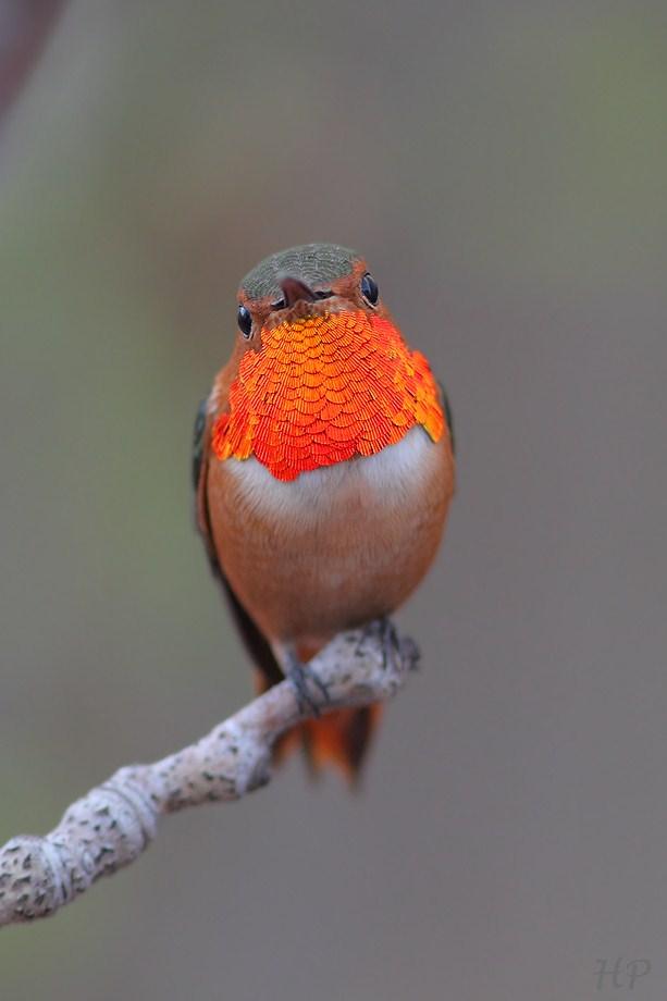 Allen's Hummingbird 010813-3