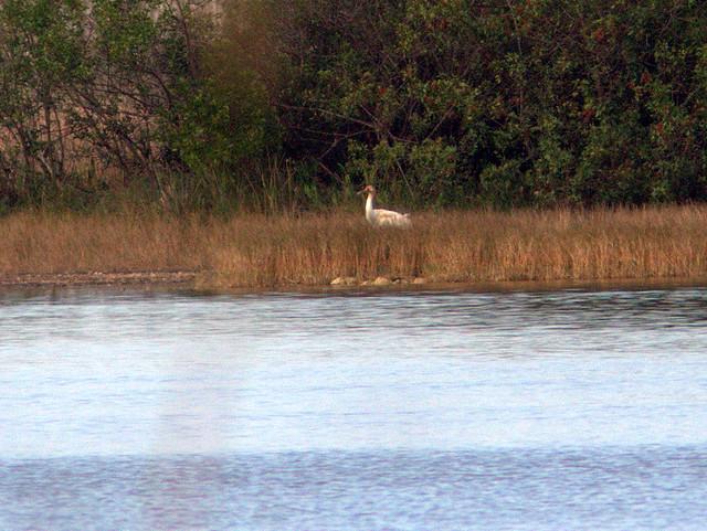 Whooping Crane 2012-13 female Tussock 20130107