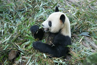 Panda using its hand to eat Bamboo