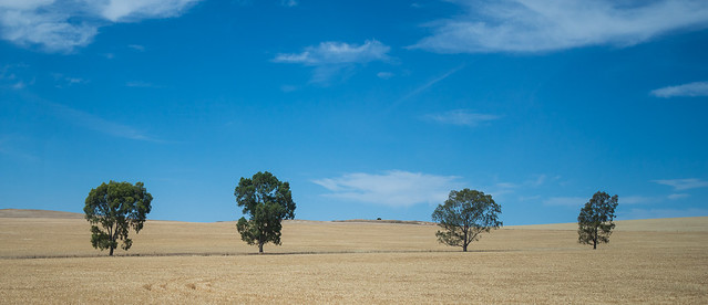 Outback Trees in Wheat Field