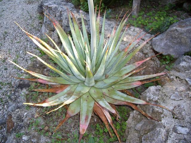 Aloe pretoriensis 02