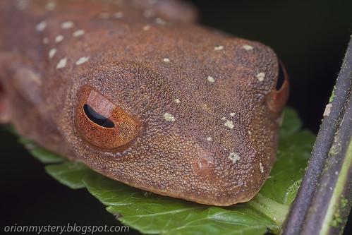 Harlqeuin flying frog (Rhacophorus pardalis) IMG_6890 copy