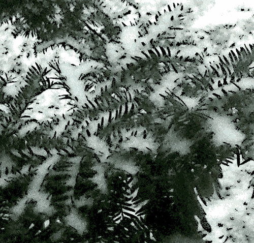 New Snow on Evergreen Branch (Digital Woodcut) by randubnick