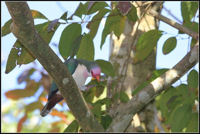 jambu fruit dove flying - photo #31