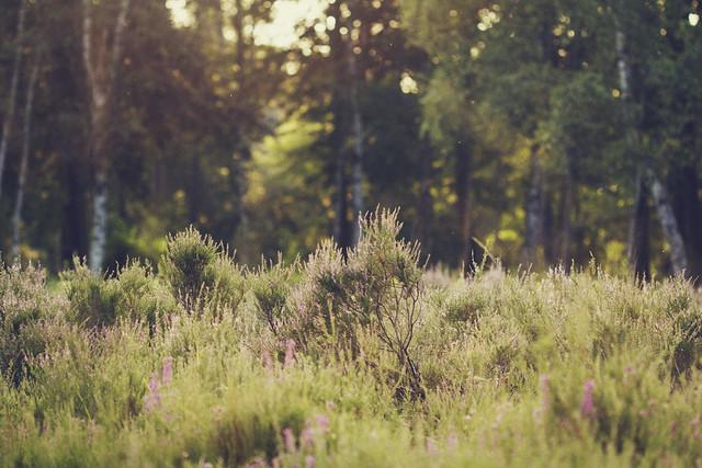 Soft heath