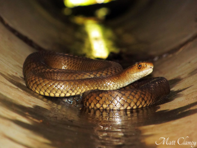 Eastern Brown Snake (Pseudonaja textilis) by Matt Clancy Wildlife Photography, on Flickr