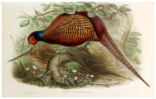 019-Common Pheasant-The birds of Asia vol. VII-Gould, J.-Science .Naturalis