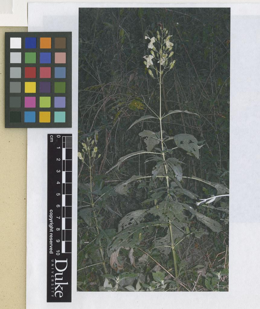 Acanthaceae_Ruellia laslobasensis3