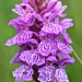 Common Spotted Orchid (Dani Free)